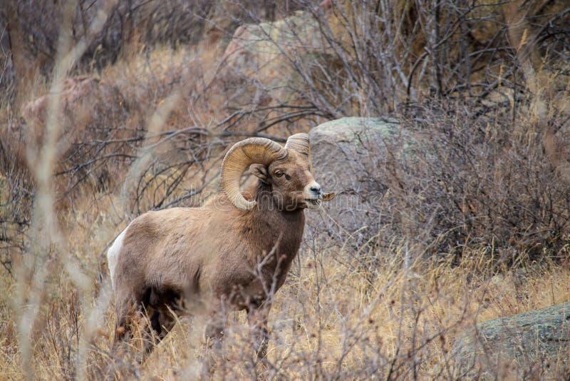 一只成人大角野绵羊在落矶山的山麓小丘吃草 库存照片
