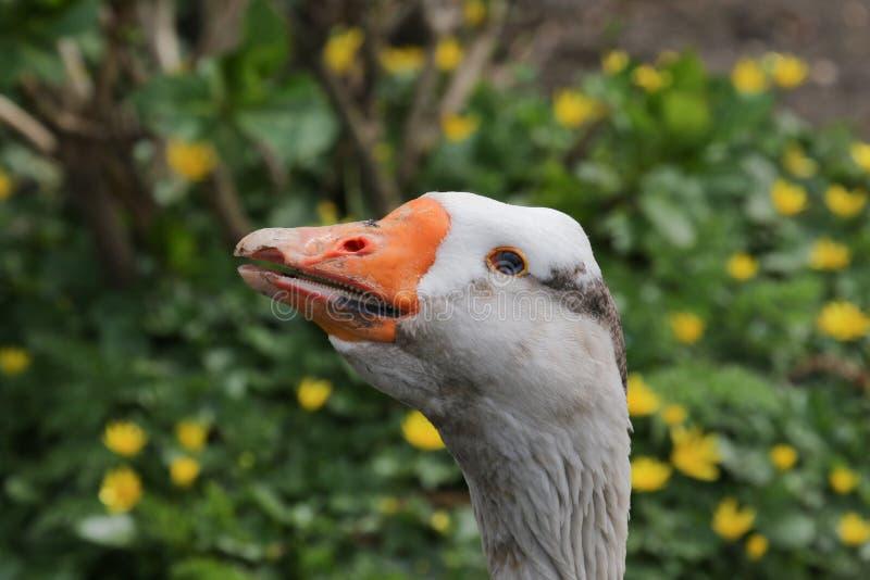 一只成人家养的埃姆登鹅的画象 库存图片