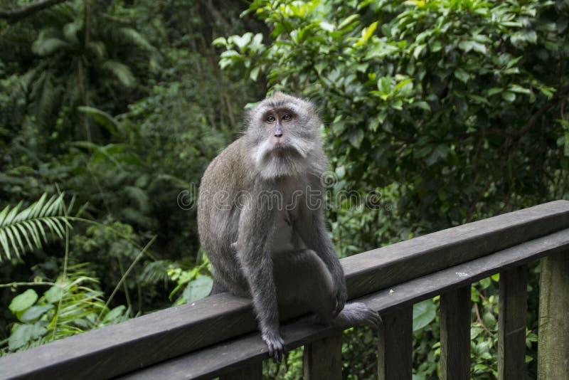 一只成人短尾猿猴子坐木头在雨猴子森林里在Ubud,巴厘岛,印度尼西亚 免版税库存图片