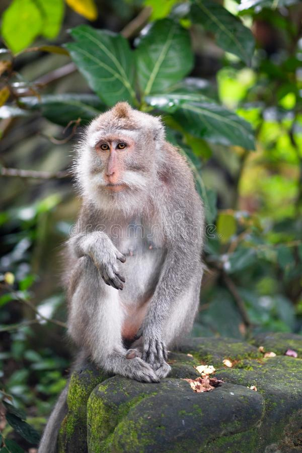 一只成人短尾猿的画象在石头的 库存图片