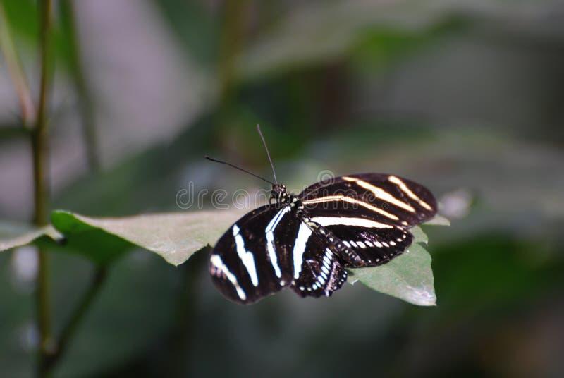 一只斑马蝴蝶的华美的射击在叶子的 免版税库存图片