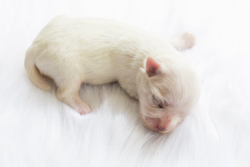一只新出生的马耳他狗的特写镜头 美好的狗颜色白色 4天 在毛茸的白色地毯的小狗 在毛茸的地毯的小狗 免版税库存照片