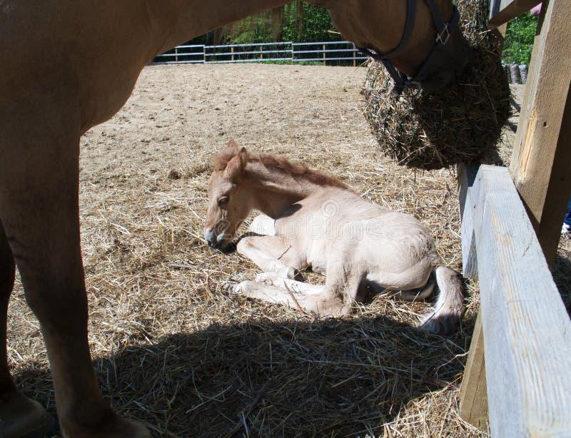 一只新出生的驹在有他的母亲的小牧场 免版税库存照片