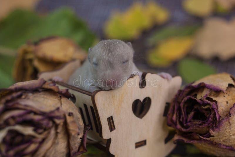 一只新出生的鼠在一个小轻便小床坐 老鼠在床上睡觉 免版税图库摄影