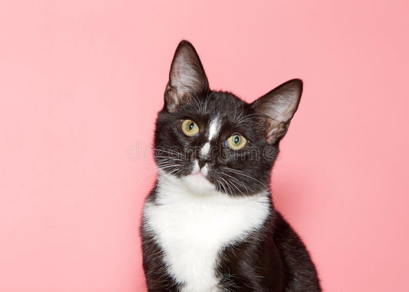 一只无尾礼服小猫的画象在桃红色背景的 免版税库存图片