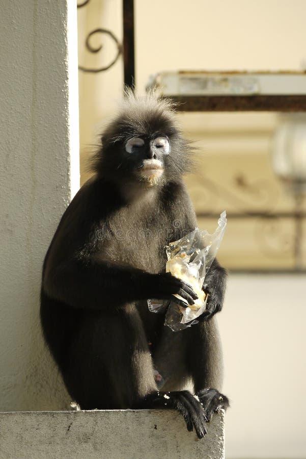 一只暗淡的叶子猴子的画象 免版税图库摄影