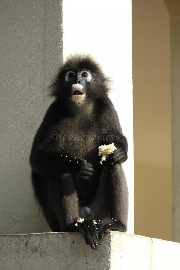 一只暗淡的叶子猴子的画象 免版税库存图片