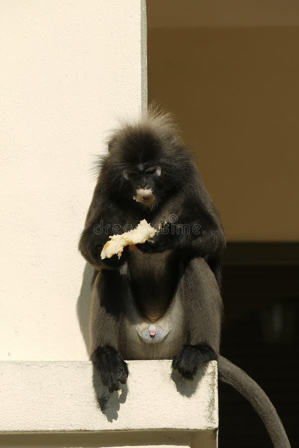 一只暗淡的叶子猴子的画象 库存照片