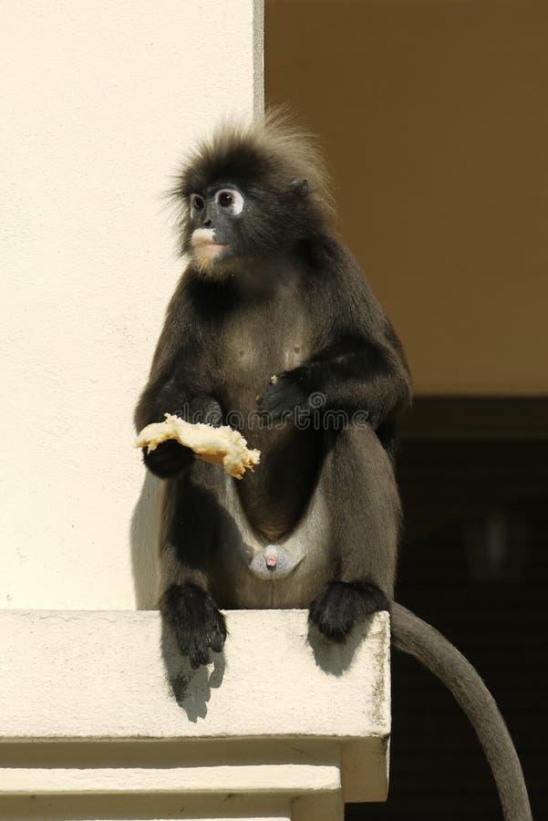 一只暗淡的叶子猴子的画象 免版税库存照片