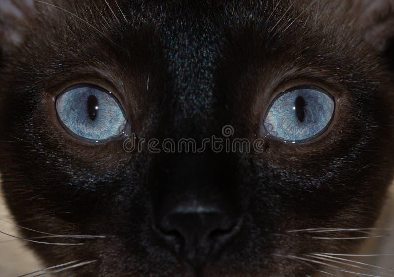一只暹罗猫的醒目的蓝眼睛的特写镜头图象 库存图片