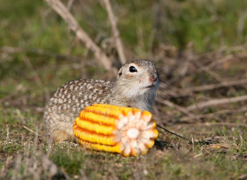 一只有斑点的地松鼠坐地面 库存照片