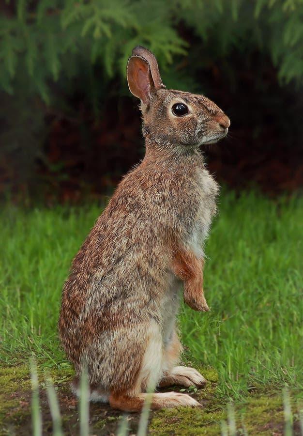 一只机敏的棉尾巴兔子 库存图片