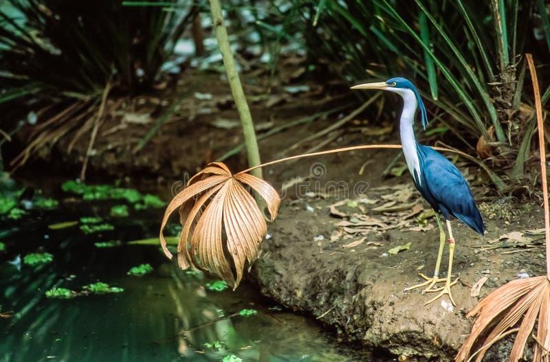 一只染色苍鹭偷偷靠近在森林池塘边缘  库存照片