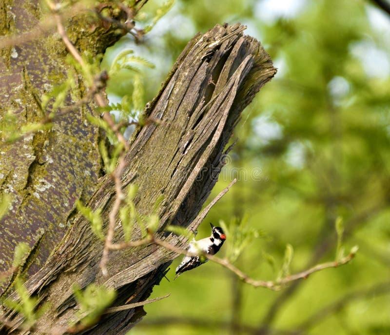 一只柔软的啄木鸟 库存图片