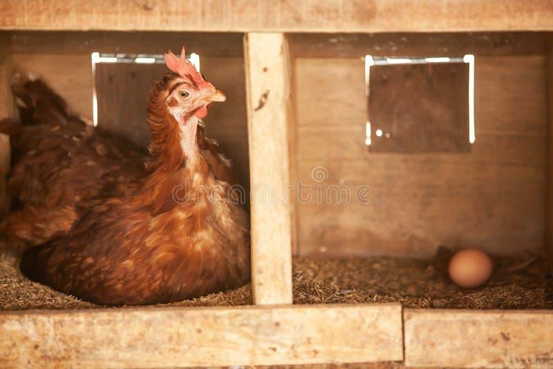 一只棕色母鸡是孵化用蛋和鸡蛋在米果壳巢在木鸡舍里 逗人喜爱与滑稽 手工制造鸡舍 免版税图库摄影