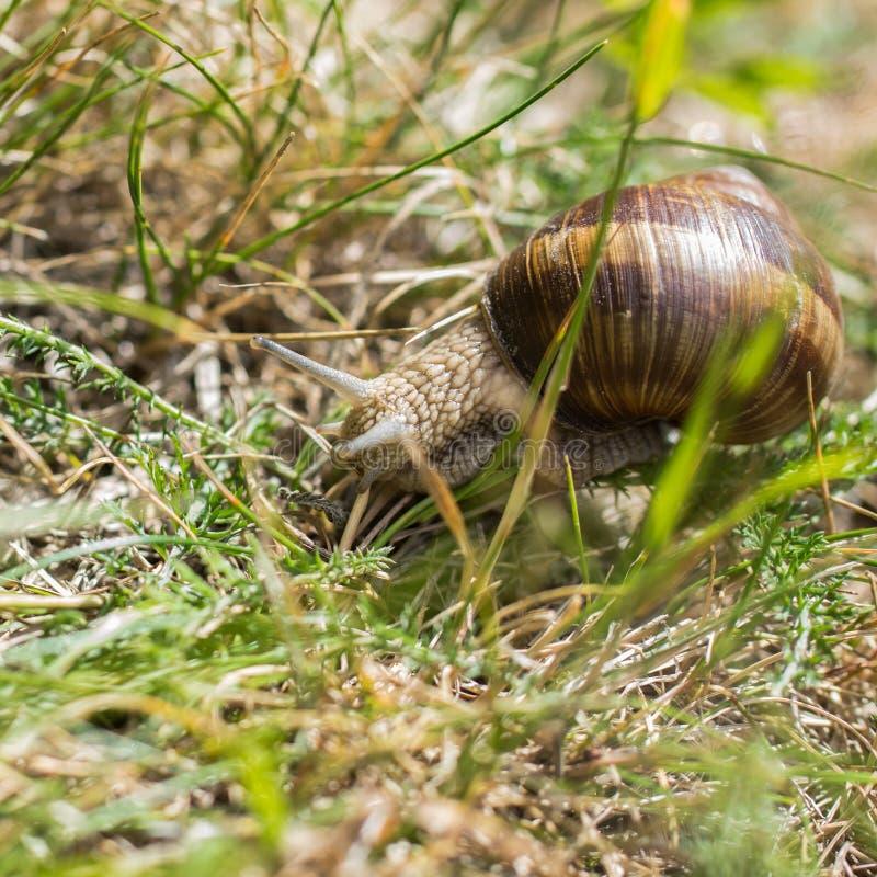 一只棕色葡萄蜗牛坐绿草在夏天 库存照片