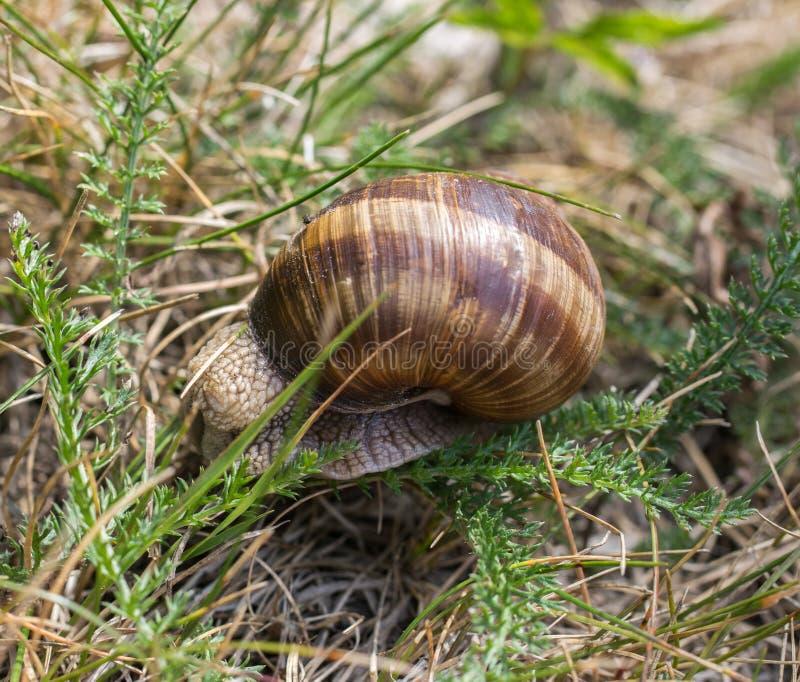 一只棕色葡萄蜗牛坐绿草在夏天 免版税库存照片