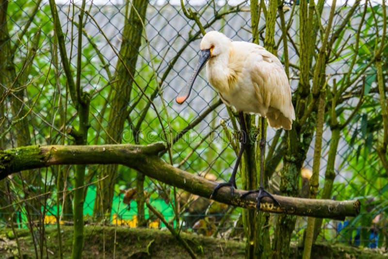 一只欧亚篦鹭鸟的特写镜头坐分支,共同的涉水鸟在欧亚大陆 免版税库存图片