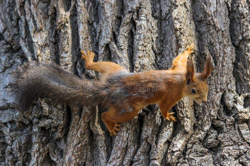一只欧亚红松鼠中型松鼠寻常进入最后阶段季节性流洒 库存照片