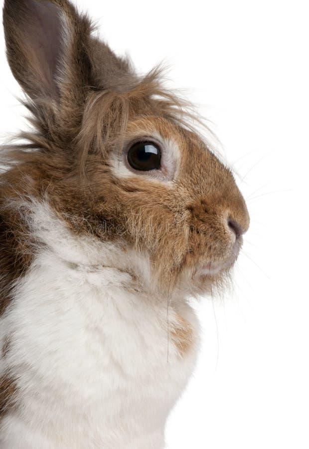 一只欧洲的兔子的特写镜头,穴兔串孔 免版税库存图片