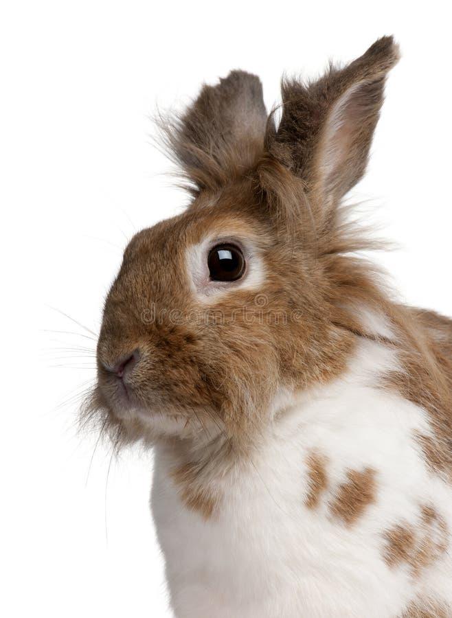 一只欧洲的兔子的特写镜头,穴兔串孔 免版税库存照片