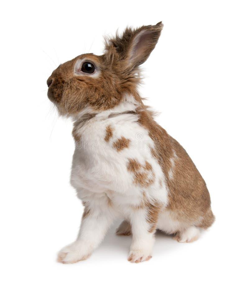 一只欧洲的兔子的画象,穴兔串孔 库存照片