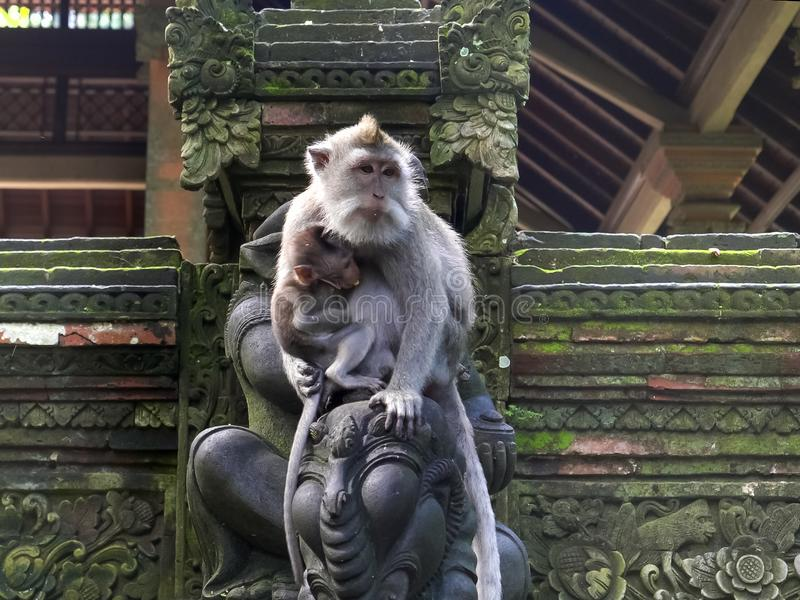 一只母短尾猿在ubud的,巴厘岛猴子森林抱着她的婴孩 库存照片