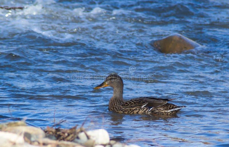 一只母野鸭在罗阿诺克河低头游泳 库存照片