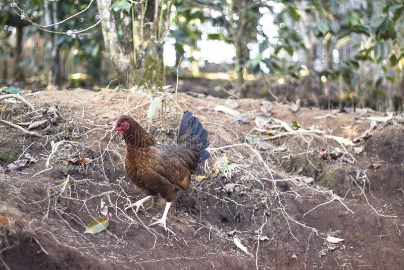 一只母鸡在庭院里 库存图片