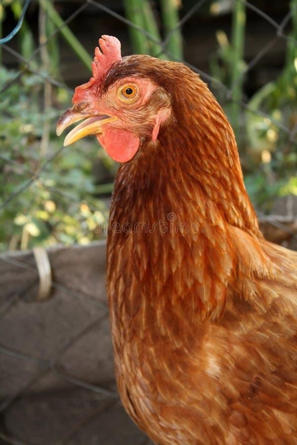 一只母鸡 免版税库存照片