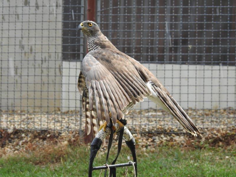 一只母鹰派的母鸡多年来被推进 免版税库存照片