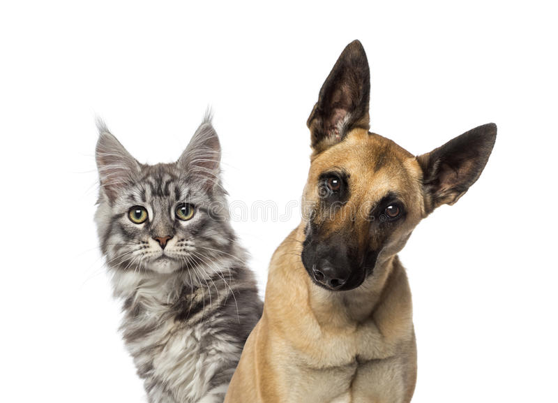 一只比利时牧羊犬和猫的特写镜头 库存照片