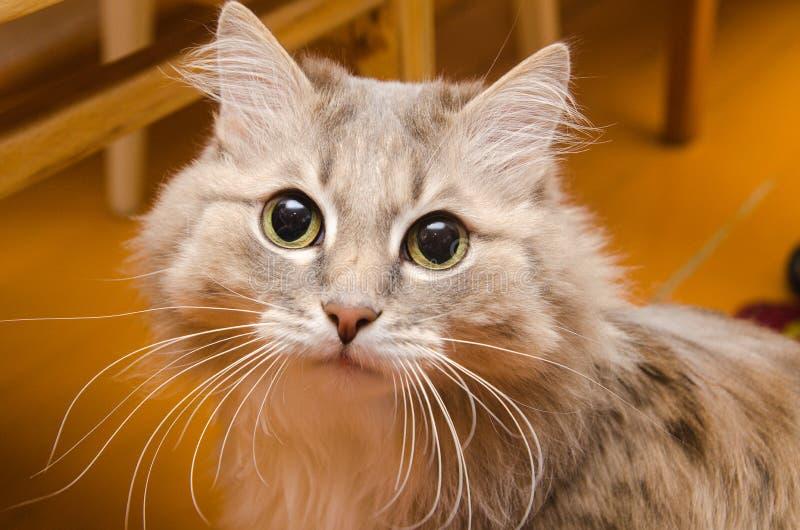 一只毛茸的猫总是高兴看您在他的房子里 免版税图库摄影