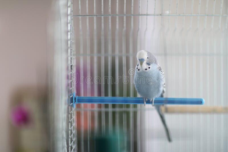 一只波浪鹦鹉坐塑料标志横线 免版税库存图片