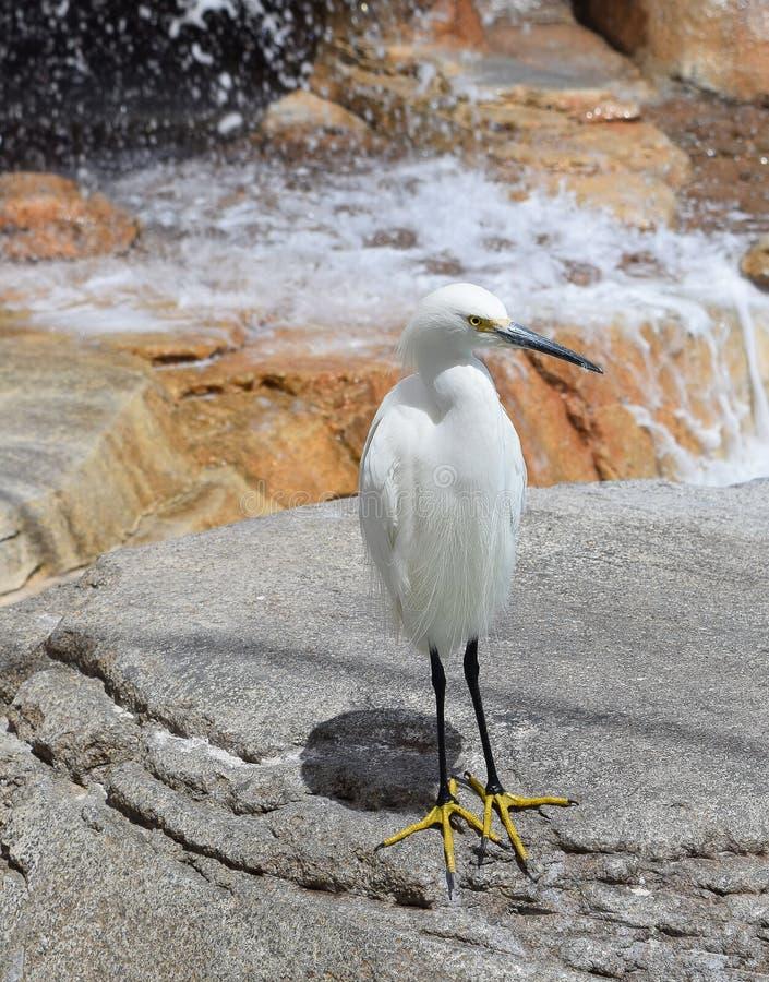 一只注意白鹭在加利福尼亚 库存照片