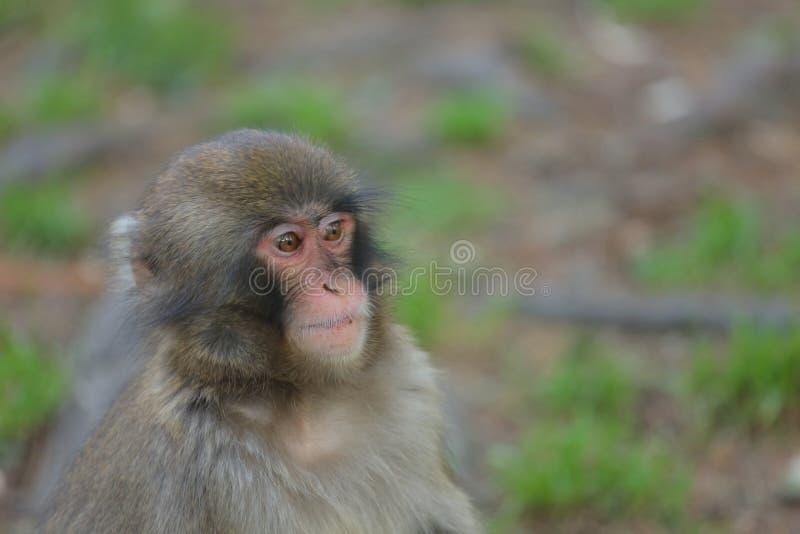 一只注意短尾猿观察周围 图库摄影