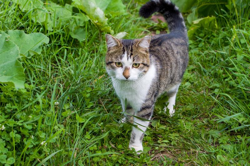 一只流浪的猫在乡间别墅的花园里散步 免版税库存图片