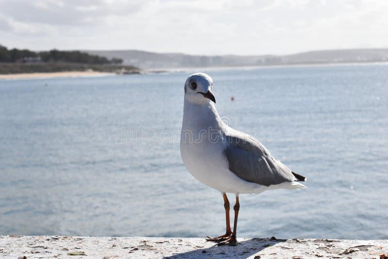 一只海鸥的特写镜头在Mossel海湾,南非的 免版税库存图片