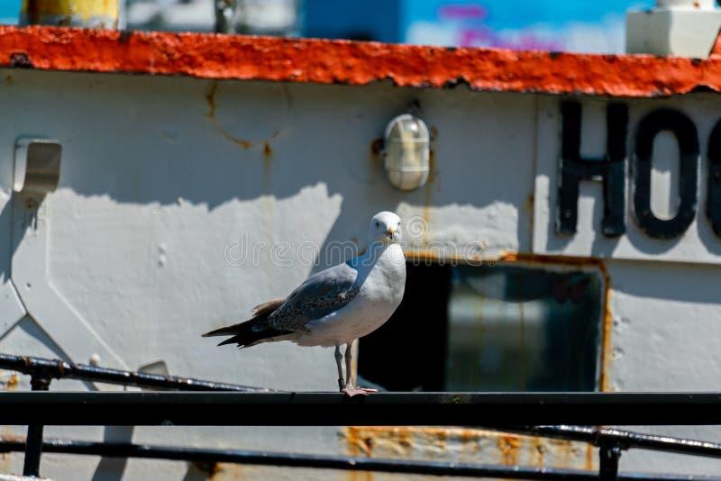 一只海鸥的Potrait在一艘老生锈的船的 免版税库存图片