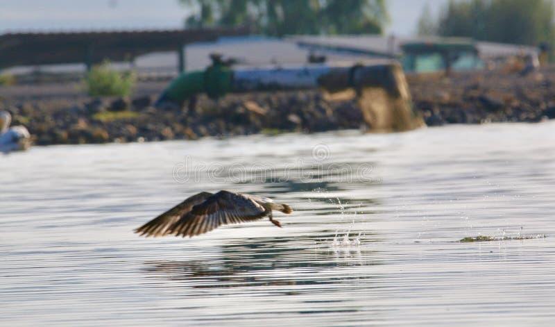 一只海鸥 库存照片