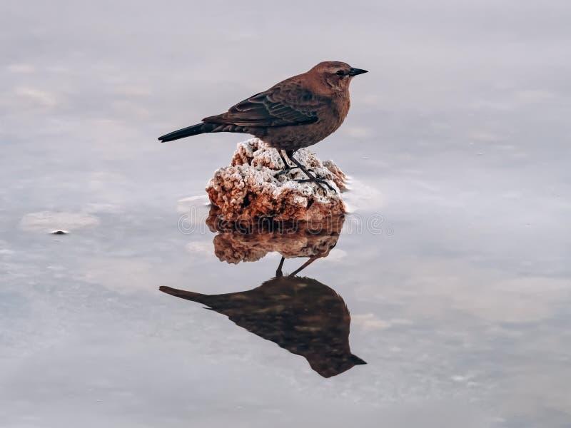 一只浸染工鸟的简历照片在一个岩石的与镜象反射在水中 免版税库存图片