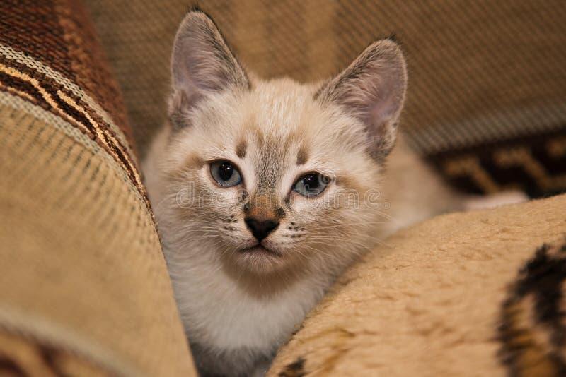 一只滑稽的灰色小猫坐沙发和逗人喜爱的神色在您 免版税库存照片