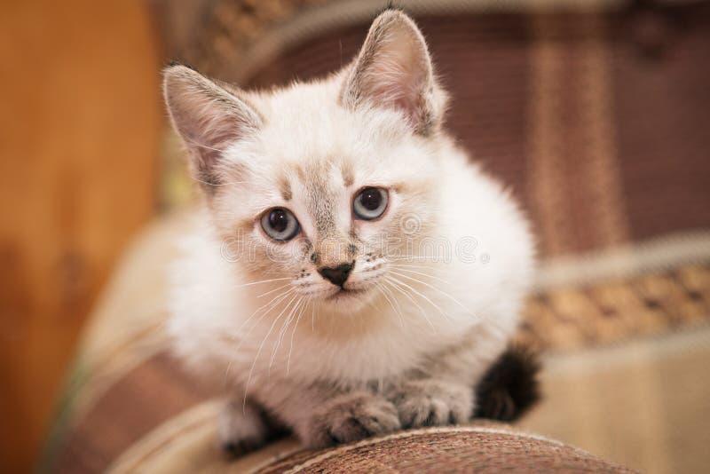 一只滑稽的灰色小猫坐沙发和逗人喜爱的神色在您 图库摄影