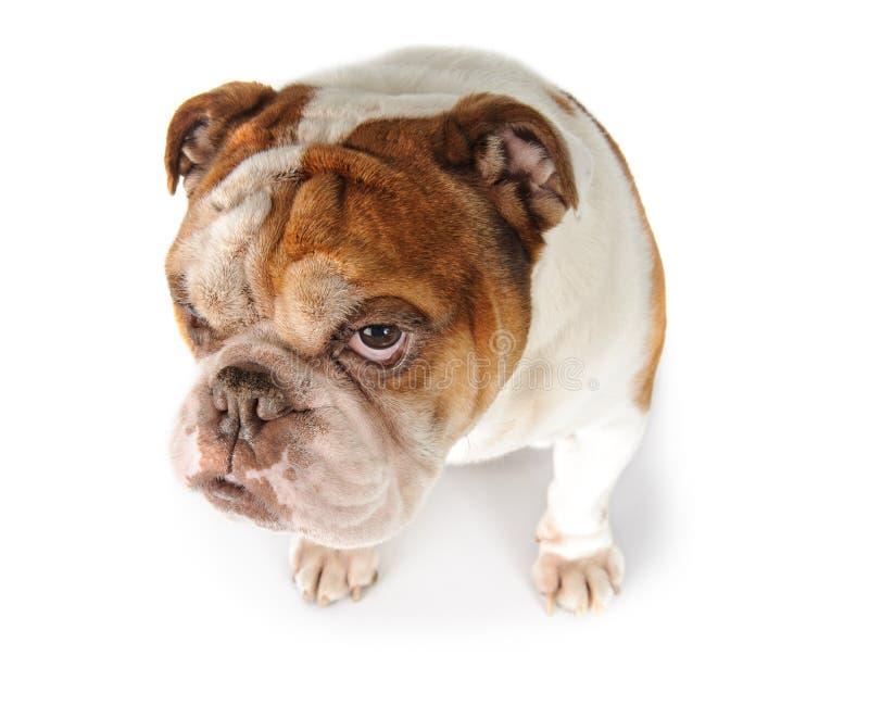 一只滑稽的狗品种英国牛头犬的画象 免版税库存图片