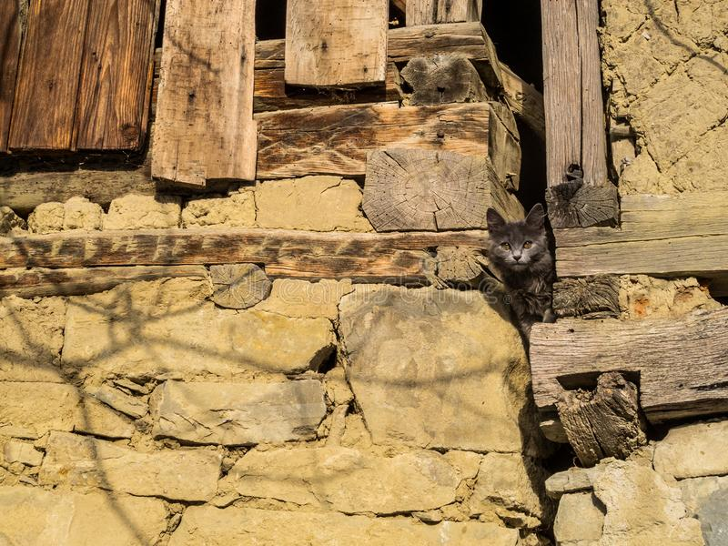 一只灰发的离群猫从一个老木谷仓偷看  库存图片