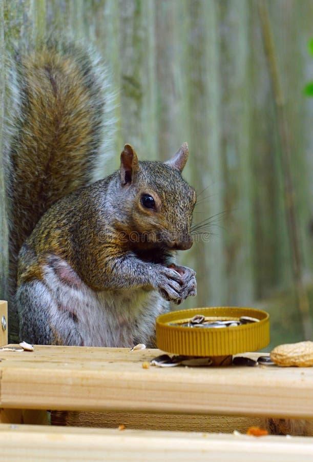 一只灰松鼠在后院的木质野餐桌上吃东西 库存照片