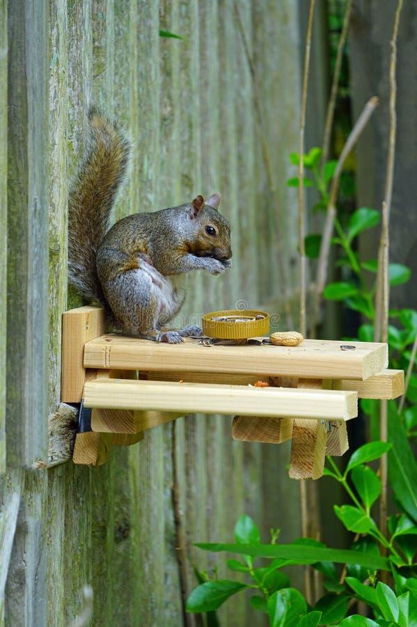 一只灰松鼠在后院的木质野餐桌上吃松鼠 库存照片