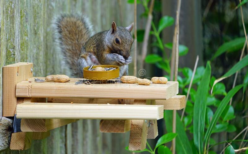 一只灰松鼠在后院的木质野餐桌上吃松鼠 免版税图库摄影