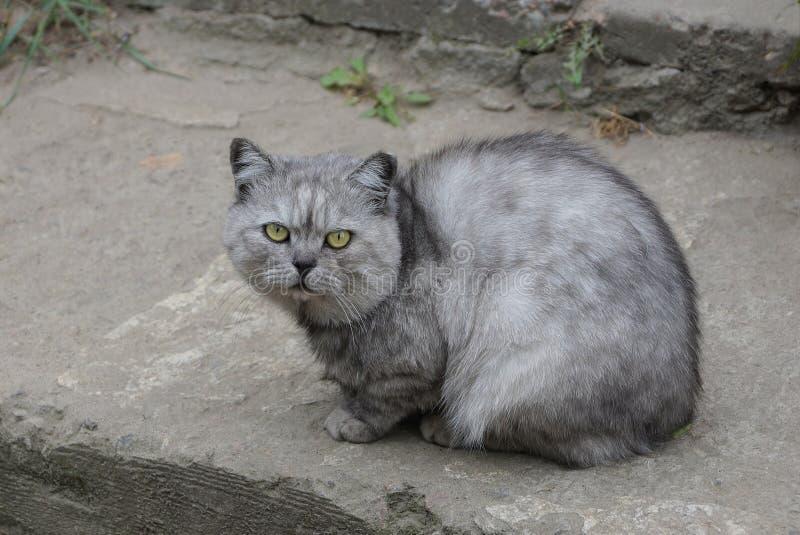 一只灰猫坐着,看着路 免版税库存照片