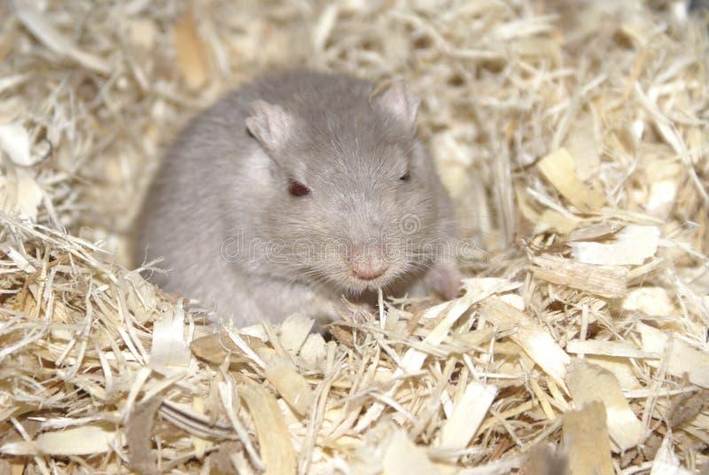 一只灰色沙鼠 库存图片
